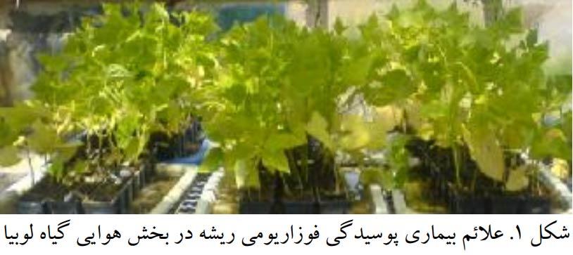 علایم بیماری پوسیدگی فوزاریومی ریشه روی بخش هوایی گیاه لوبیا