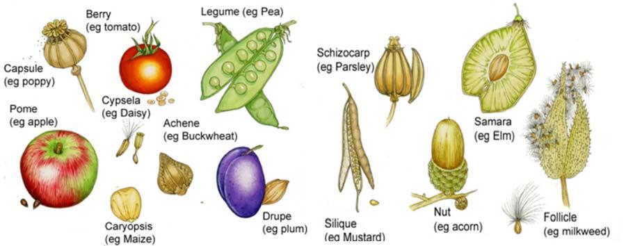 انواع میوه در طبقه بندی میوه ها