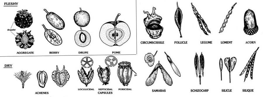 انواع میوه در طبقه بندی میوه ها از نظر ظاهری