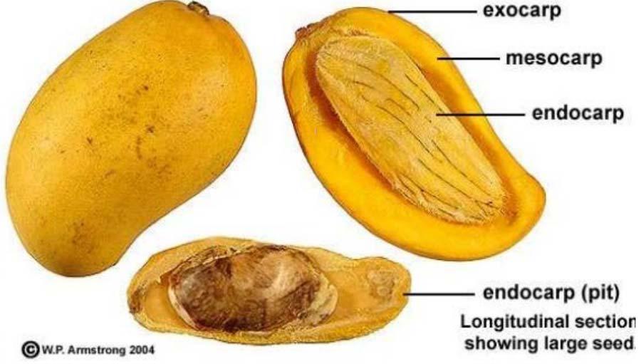 لایه های فرابر میوه در انواع میوه ها