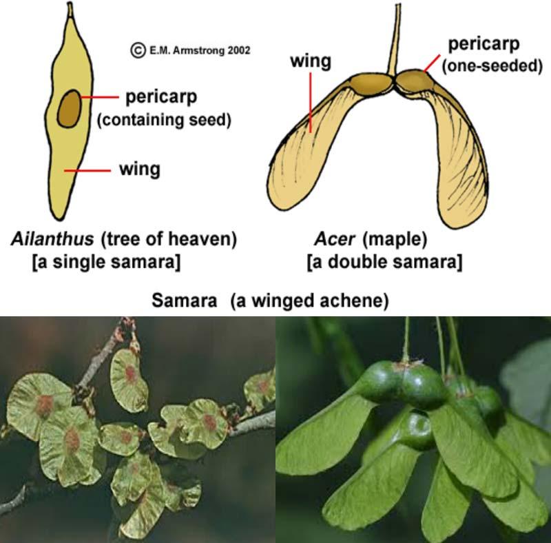 میوه فندقه بالدار در طبقه بندی میوه ها جز میوه های خشک محسوب می شود.