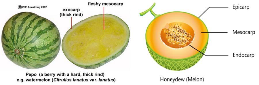 هندوانه و طالبی در طبقه بندی میوه ها جز میوه های کدویی محسوب می شوند.