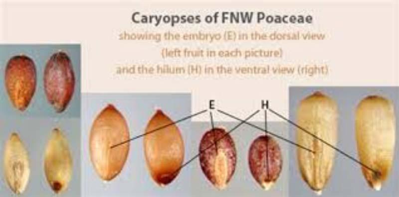 در طبقه بندی میوه ها میوه های گندمه جز انواع میوه خشک ناشکوفا محسوب میشنود.